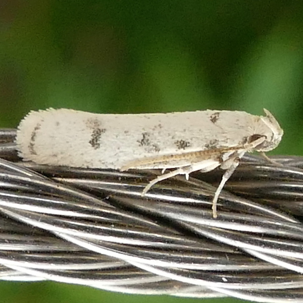 H01139  P172GlyphidoceraLactiflosella996 Apr. 19, 2018  7:40 a.m.  P1720996 This is Glyphidocera lactiflosella, the Five-spotted Glyphidocera, on a cable at the catwalk at LBJ WC.  Autostichid.