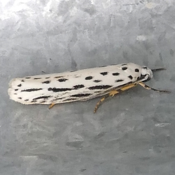 H00992 P173EthmiaZelleriella503 May 3,, 2018 7:25 a.m. P1730503 This is Ethmia zelleriella, Zeller's Ethmia Moth, on a metall wall by the catwalk at LBJ WC.  Depressariid.