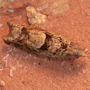 P171PseudexenteraHodsoni477 Feb. 15, 2018  6:25 a.m.  P1710477 This matches every Pseudexentera hodsoni I found on BG AND the Houston and Louisiana ones for P. spoliana (possible errors?).  Tortricid.