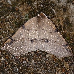 P171CaripetaTriangulata497 Feb. 15, 2018 7:22 a.m. P1710497 Side angle view of a Caripeta triangulata on a balcony wall at LBJ WC. See 2d today with different pattern. Geometrid.  Sorry about the raindrops.