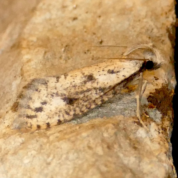 H00366  P172AcrolophusMortipennella469 Apr. 5, 2018  7:22 a.m.  P1720469 This is Acrolophus mortipennella, my first of the season--hopefully to be replaced by a sharper shot!  Seen at LBJ WC.  Tineid.