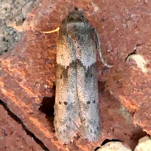 H01162 P179BlastobasisGlandulella-AcornM422 Mar. 29, 2019 9:53 a.m. P1790422 We see Blastobasis glandulella, the Acorn Moth, frequently because the caterpillars feed onour plentiful acorns. BG also lists hickory so that may include pecans, another common nut, though more confined to streamsides. Blastobasid.