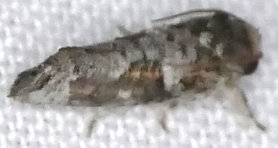 H00371  P183AcrolophusPiger906 Aug. 29, 2019  7:07 a.m.  P1830906 This badly out of focus shot is likely Acrolophus piger.  Seen at MV light behind the barn at LBJ WC.  Tineid.