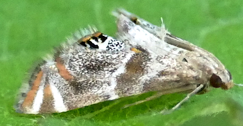 """H04775  P182PetrophilaJaliscalis008 June 13, 2019  7:18 a.m.  P1820008 This is Peetrophila jaliscalis in the """"woodland"""" area at LBJ WC.  Why there?  Because its larvae are aquatic and live in the fake stream that crosses that area.  Crambid."""