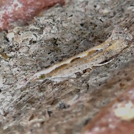 H02366  P179PlutellaXylostellaDbackM451 Apr. 4, 2019  6:09 a.m.  P1790451 This is a Diamondback Moth, Plutella xylostella, at entry lights at 2601.  Plutellid.