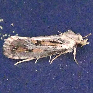 H00373  P184AcrolophusPopeanella552 Sep. 19, 2019  7:33 a.m.  P1840552 We seldom see Acrolophus popeanella and the color contrast of gray and tan was a surprise but evidently is common.  The supposedly similar A. a r c a n e l l a models on MPG do not show that--BG has one--#839657. Tineid.