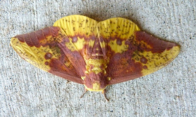 Moths--Mini