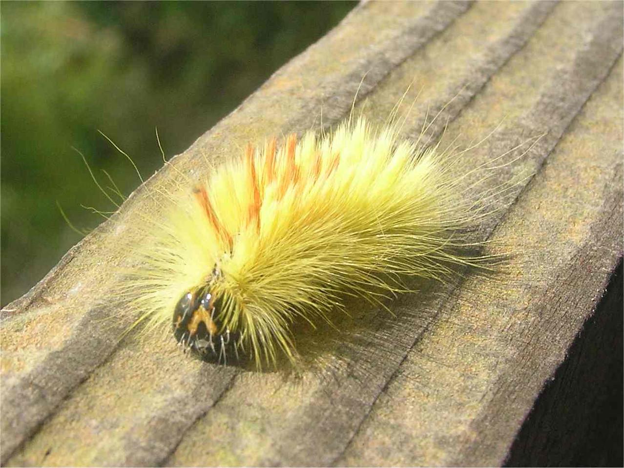 Sycamore Larva, Flackwell Heath , Sept 2005