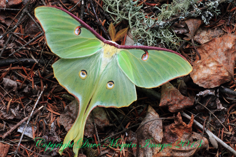 Luna Moth- Sax-Zim Bog