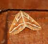 Brown Pine Looper Moth <br /> Caripeta angustiorata <br /> Arlington, VT