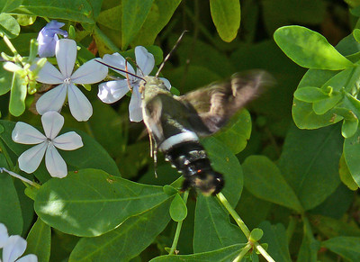 Clavipes Sphinx Moth