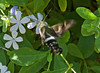 Clavipes Sphinx Moth