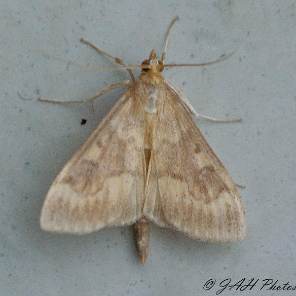 Orange-toned Mecyna Moth - 5135<br /> Mecyna submedialis