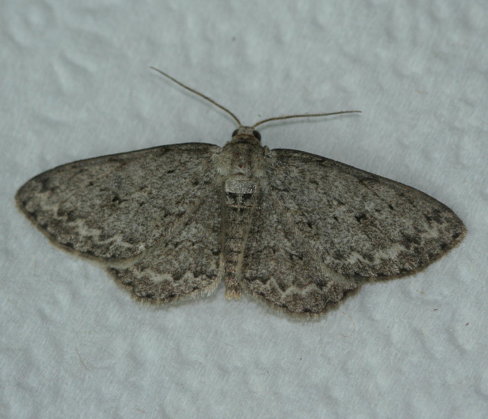 The Small Engrailed Moth<br /> Ectropis crepuscularia
