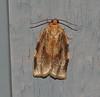 Broken-banded Leafroller Moth <br /> Choristoneura fractivittana