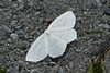 Pale Beauty Moth<br /> Campaea perlata