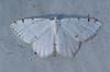 Lesser Maple Spanworm Moth <br /> Itame pustularia