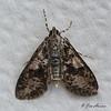 Splendid Palpita Moth <br /> Palpita magniferalis