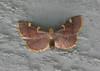 Yellow-fringed Dolichomia Moth <br /> Dolichomia olinalis