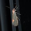 Lead  Colored Moth   (Cisthene plumbea)