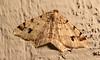 Hemlock Angle Moth <br /> Macaria fissinotata