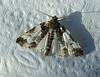 White Eulithis Moth<br /> Eulithis explanata