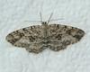 Canadian Melanolophia Moth <br /> Melanolophia canadaria