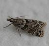 4716 -- Double-striped Scoparia Moth<br /> Scoparia biplagialis