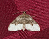 Sharp-angled Carpet Moth <br /> Euphyia unangulata <br /> Jefferson Hills, PA