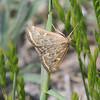 Beet Webworm Moth - 5004<br /> Loxostege sticticalis <br /> Pawnee National Grasslands