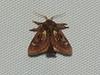 Spiny Oak-slug Moth <br /> Euclea delphinii