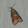 Tufted Apple Bud Moth - Hodges #3740<br /> Platynota idaeusalis