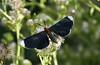 White-tipped Black Moth<br /> Melanchroia chephise