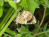 Orange Satyr Moth - 7367<br /> Heterusia atalantata moth<br /> Santa Ana NWR