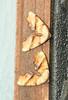 Fervid Plagodis - Hodges #6843 Plagodis fervidaria