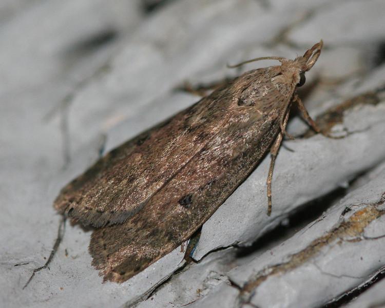Terrenella Bee Moth - Hodges #5630<br /> Aphomia terrenella