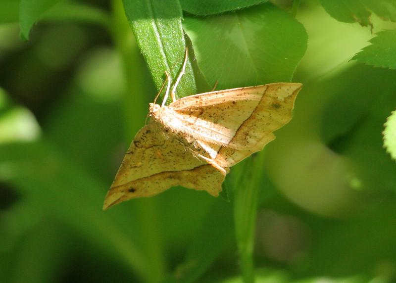Mottled Euchlaena Moth <br /> Euchlaena tigrinaria