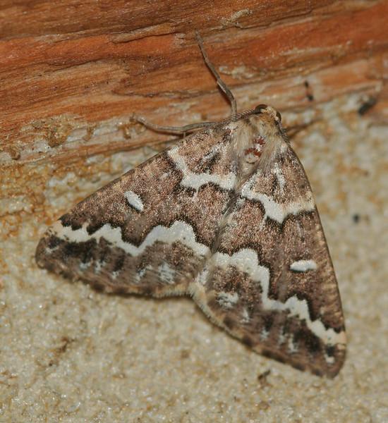 Gray Spruce Looper Moth <br /> Caripeta divisata <br /> Arlington, VT
