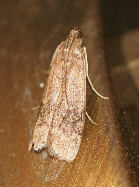 Broad-banded Eulogia Moth - Hodges#5999<br /> Eulogia ochrifrontella