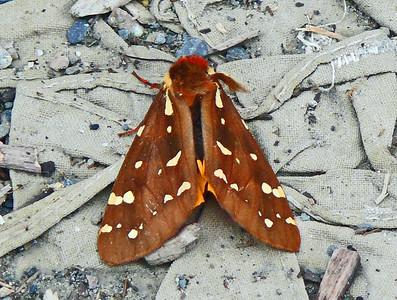 St. Lawrence Tiger Moth