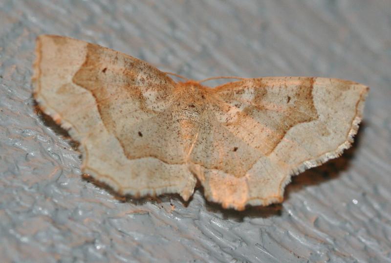 Marginal Euchlaena Moth <br /> Euchlaena marginaria