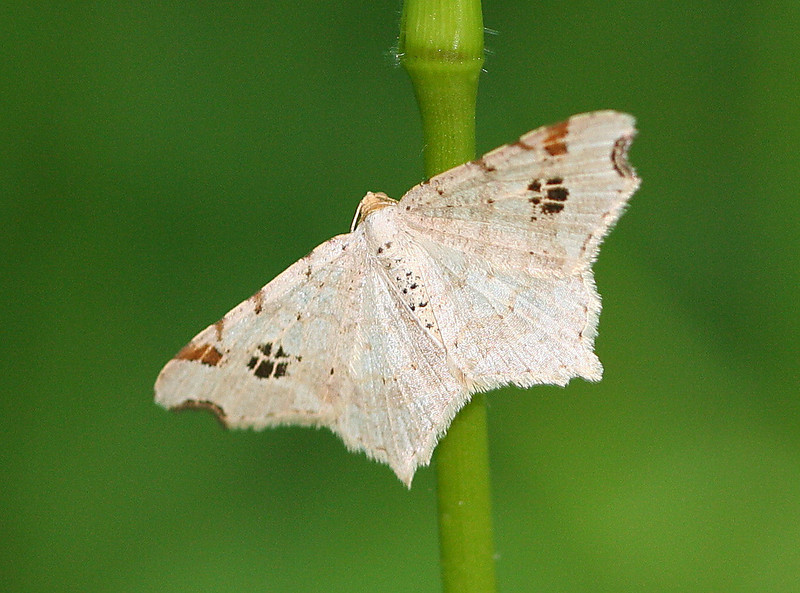Common Angle Moth <br /> Macaria aemulataria
