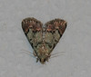Dimorphic Macalla Moth <br /> Macalla superatalis