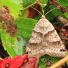 Unidentified Moth- Sax Zim Bog