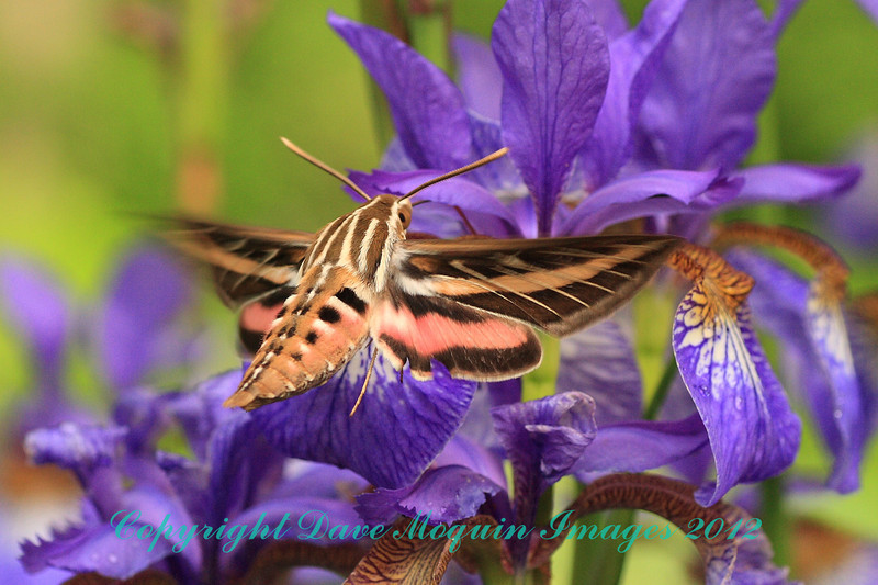 White-lined Sphinx Moth- Red Barn
