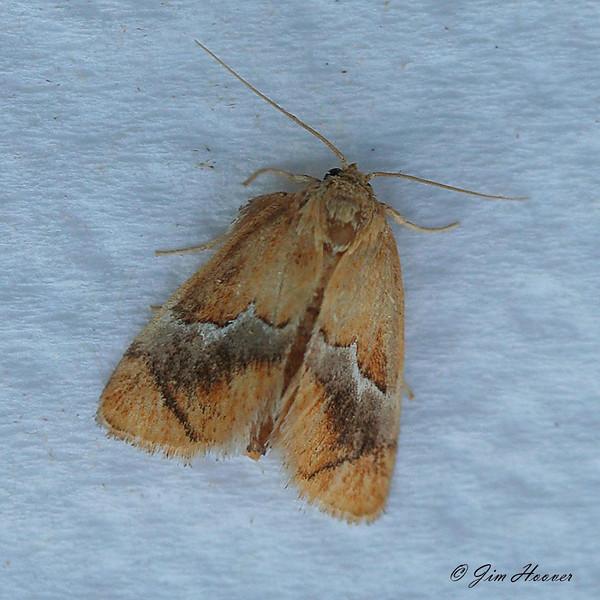 Yellow-shouldered Slug Moth <br /> Lithacodes fasciola