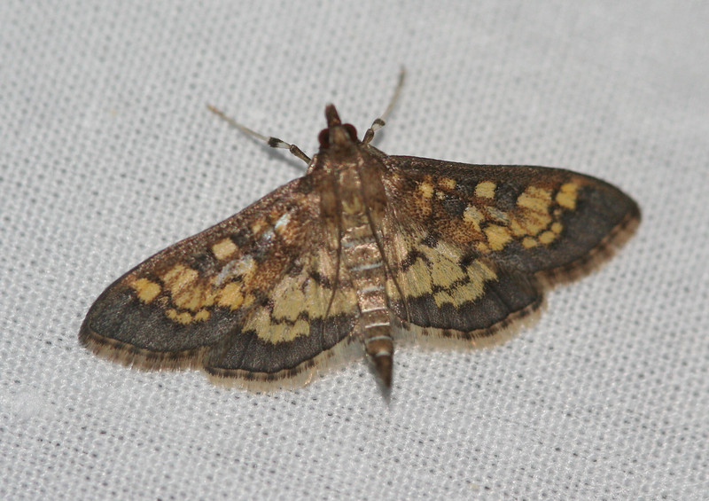 Paler Diacme Moth - 5142<br /> Diacme elealis <br /> Arlington, VT
