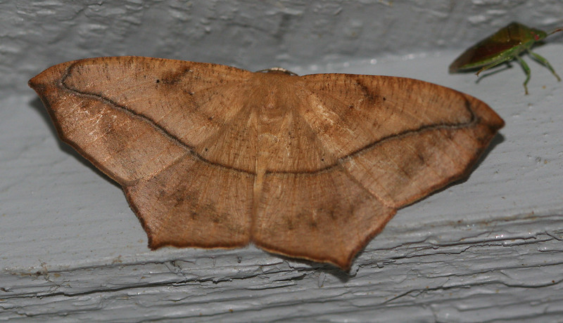 Large Maple Spanworm Moth <br /> Prochoerodes transversata