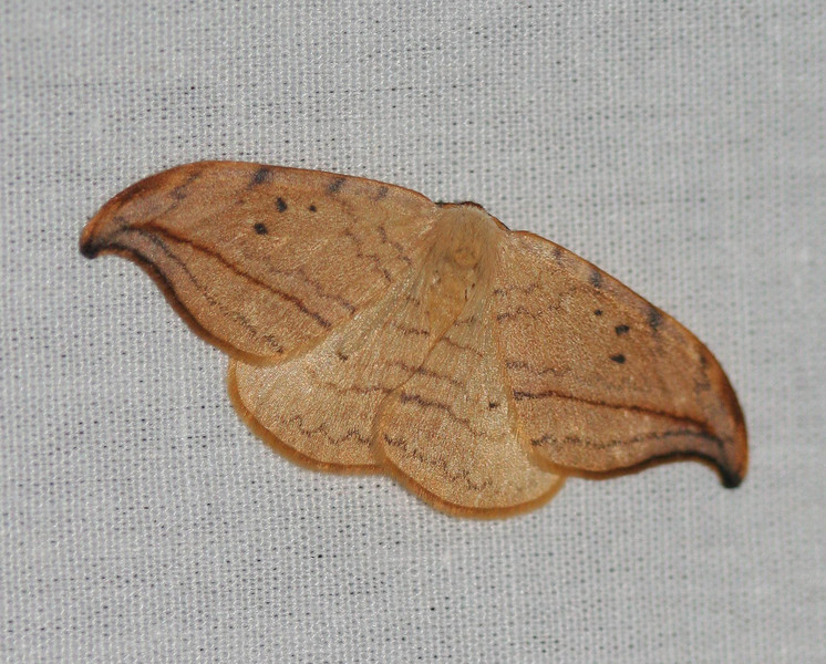 Arched Hooktip Moth - 6251<br /> Drepana arcuata