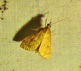 Little Begger Moth